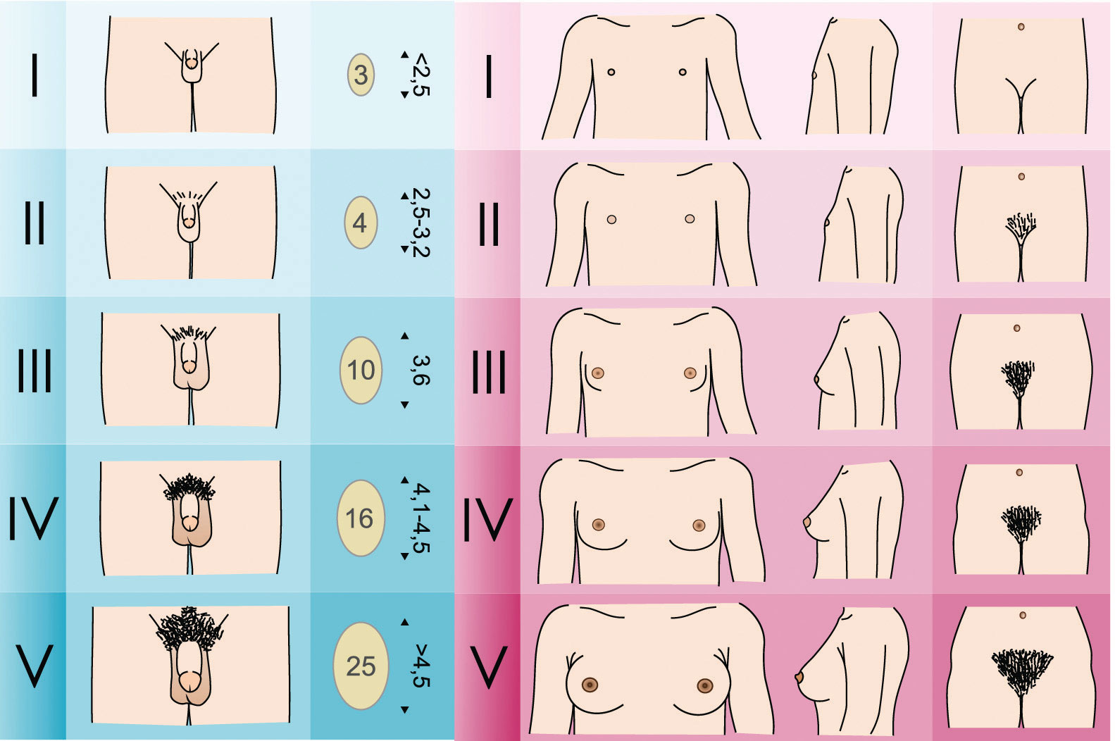 evolution of breasts Breast cancer is the leading cause of cancer-related death in women world-wide despite significant advances in diagnosing and treating breast cancer, several major unresolved clinical and scientific problems remain.