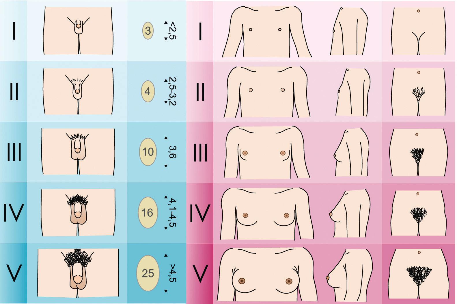 Какие половые органы бывают женские